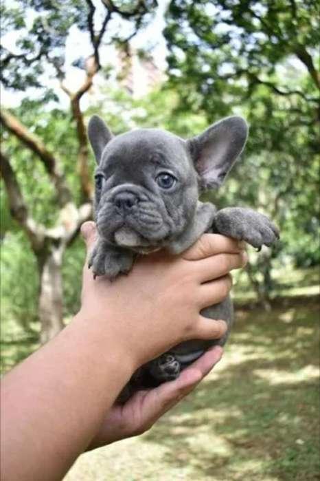 Cachorro Bulldog Frances Blue