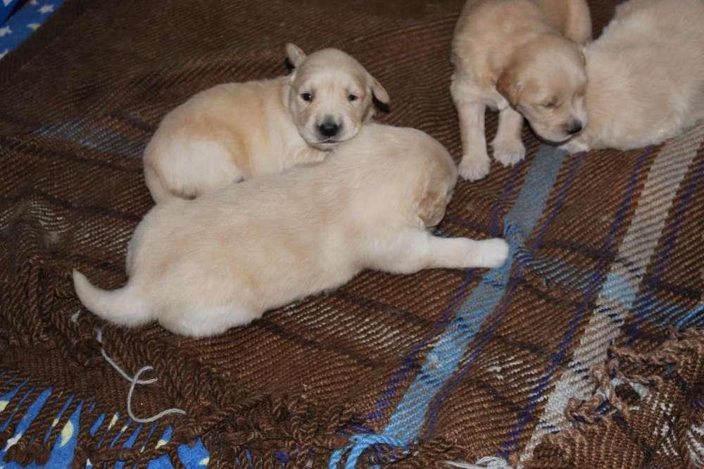 Venta de <strong>cachorro</strong>s Golden Retriever