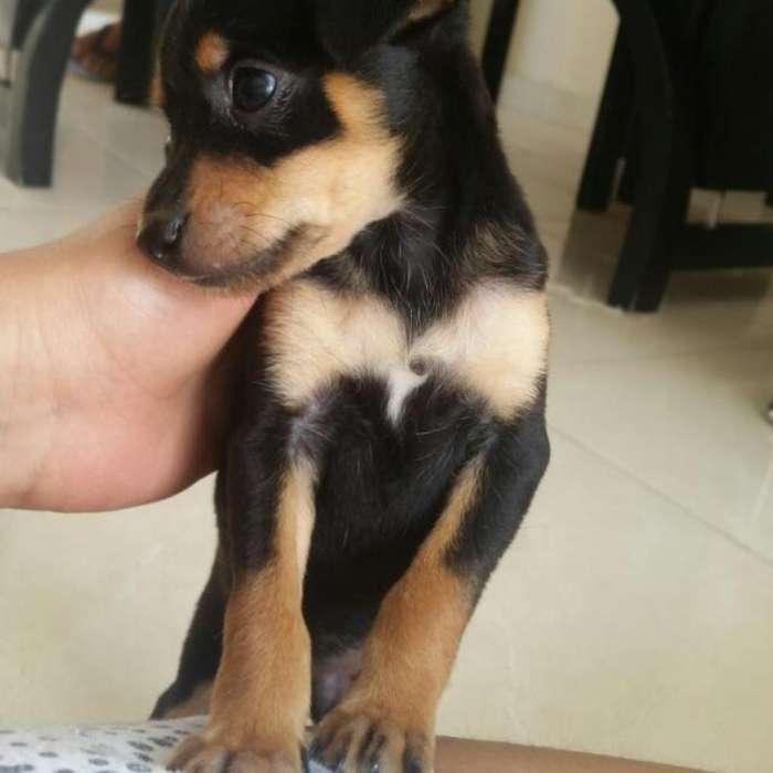 Vendo <strong>perro</strong> Pincher con Todas Las Vacuna