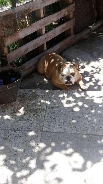 Bulldog Ingles Hembra Muy Linda Linea