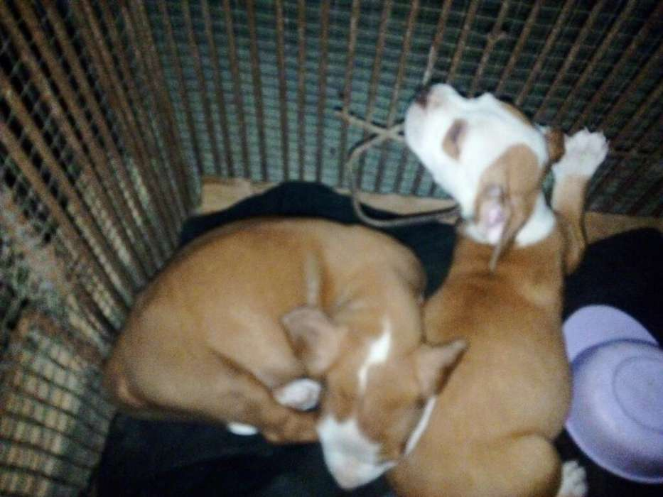 Vendo Cachorritos Pitbull Red Nose
