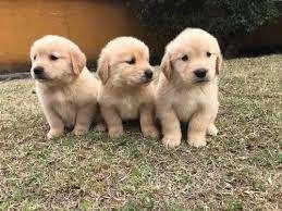 golden cachorros espectaculares