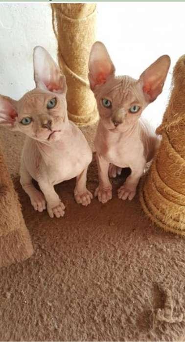 Venta de gatos sphynx