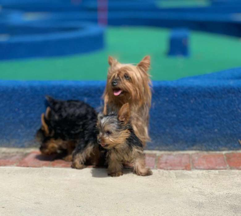 vendo hermosos Yorkshire Terrier