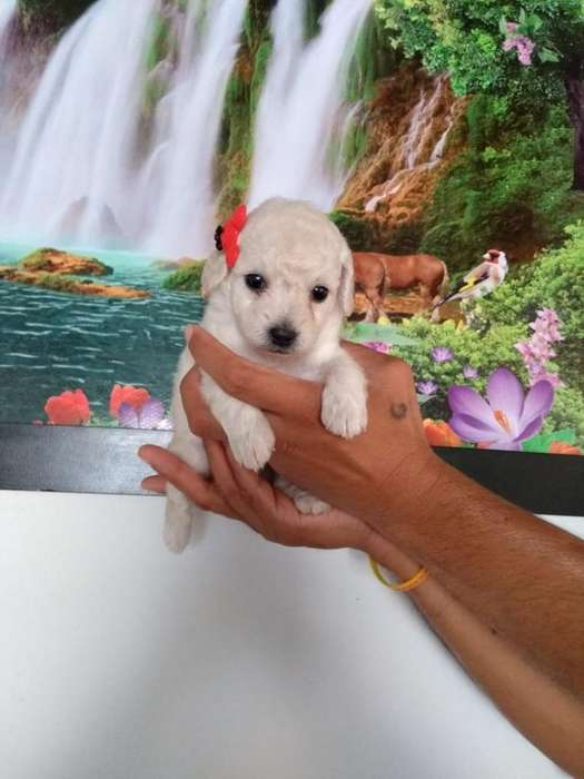Cachorros Mini Toy Patas Cortas Dispónib