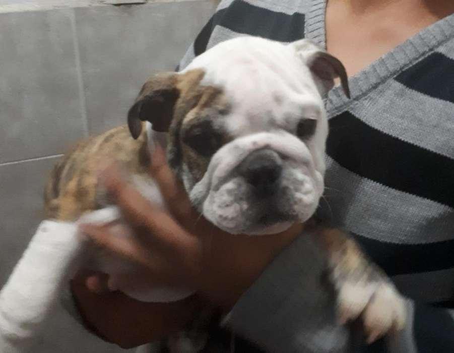 Cachorro Macho Bulldog Ingles