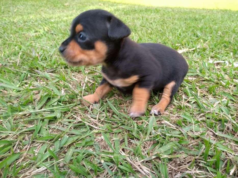 Cachorros Pinscher