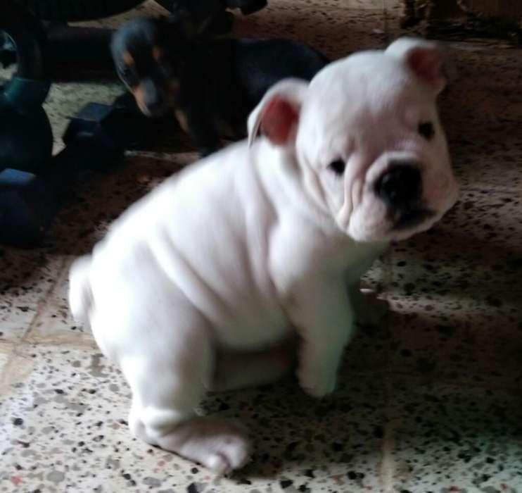 <strong>cachorro</strong> Bulldog Ingles