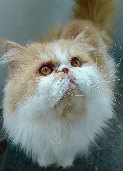<strong>gato</strong> Persa Bicolor para Monta