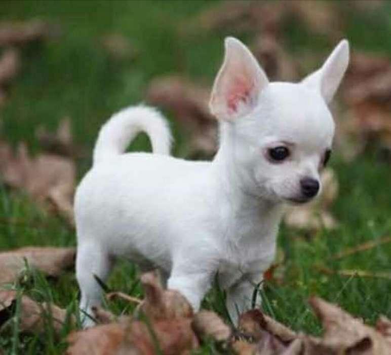 Cachorritos Chihuahua Miniatura Blanco