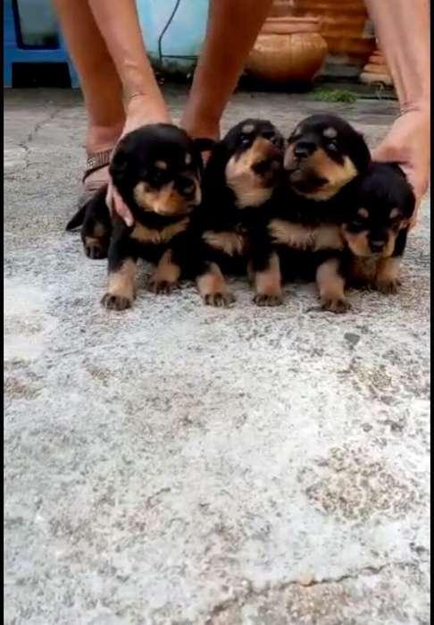Vendo Hermosos Cachorros Rottweilee