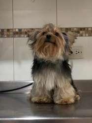 Monta para Yorkshire Terrier
