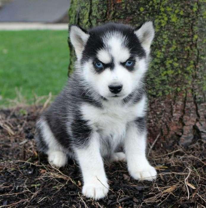 Husky siberanio <strong>cachorro</strong>s