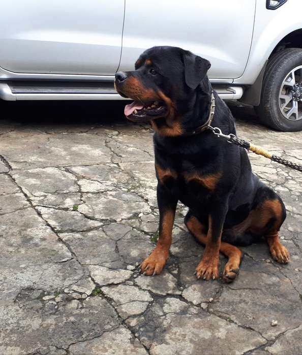 <strong>perro</strong>s Rottweiler Puros