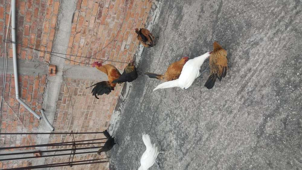 Vendo pollos chilenos