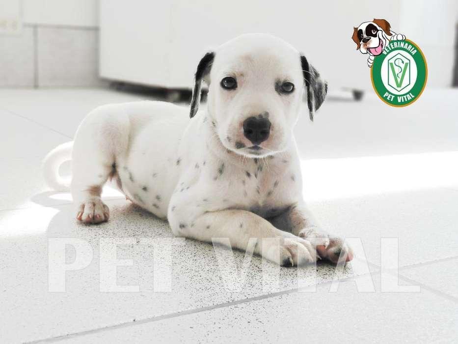 <strong>cachorro</strong>S ADORABLES DALMATA EN PET VITAL !!!