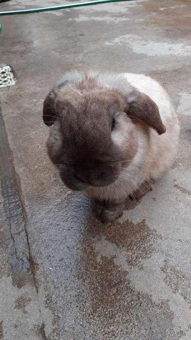 Vendo Conejos Importados.orejas Caidas