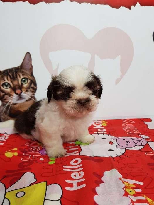 Disponibles <strong>cachorro</strong>s Shihtzu Mini Trico