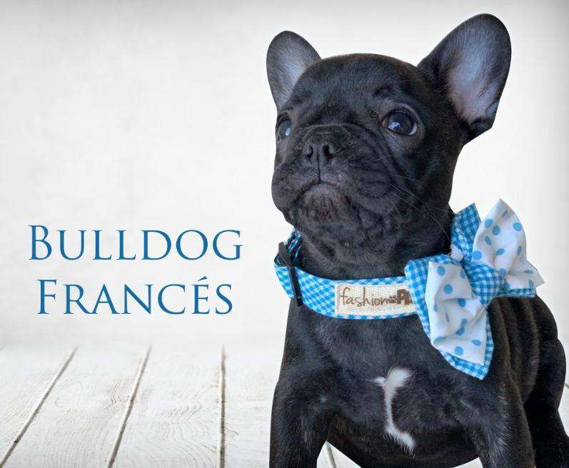 Bulldog Frances