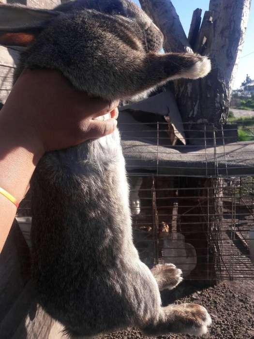 Permuto Conejo Y Gallos