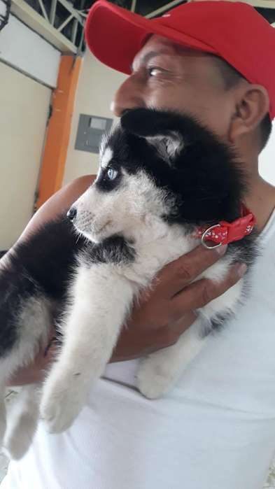 Husky Siberiano con Carnet