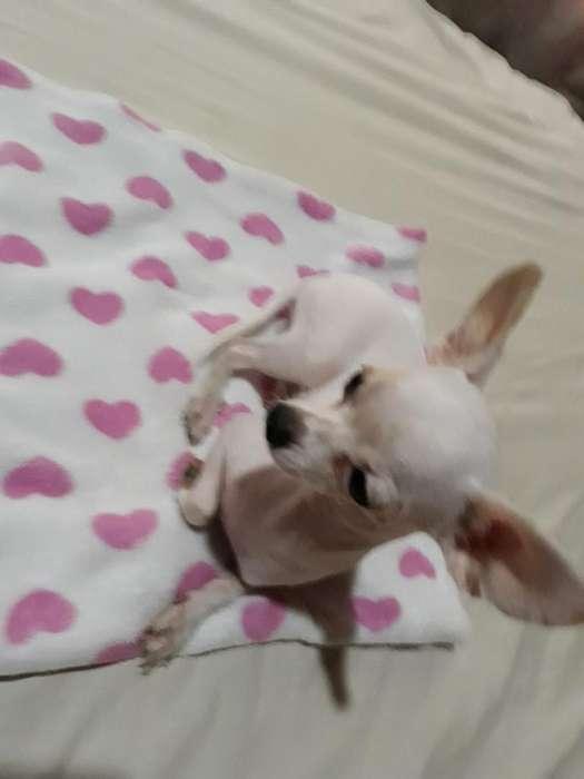 Vendo Chihuahua Puro.