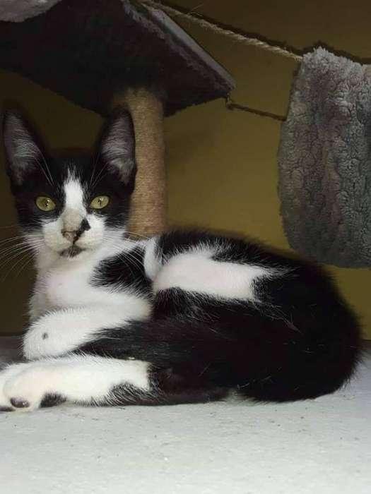 Pistacho <strong>gato</strong> en Adopción