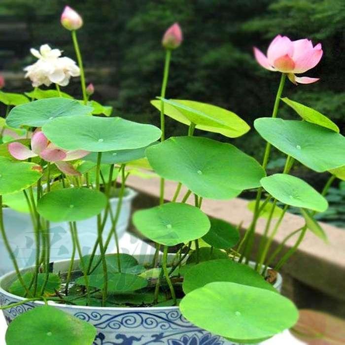 semillas y plantas de lotos