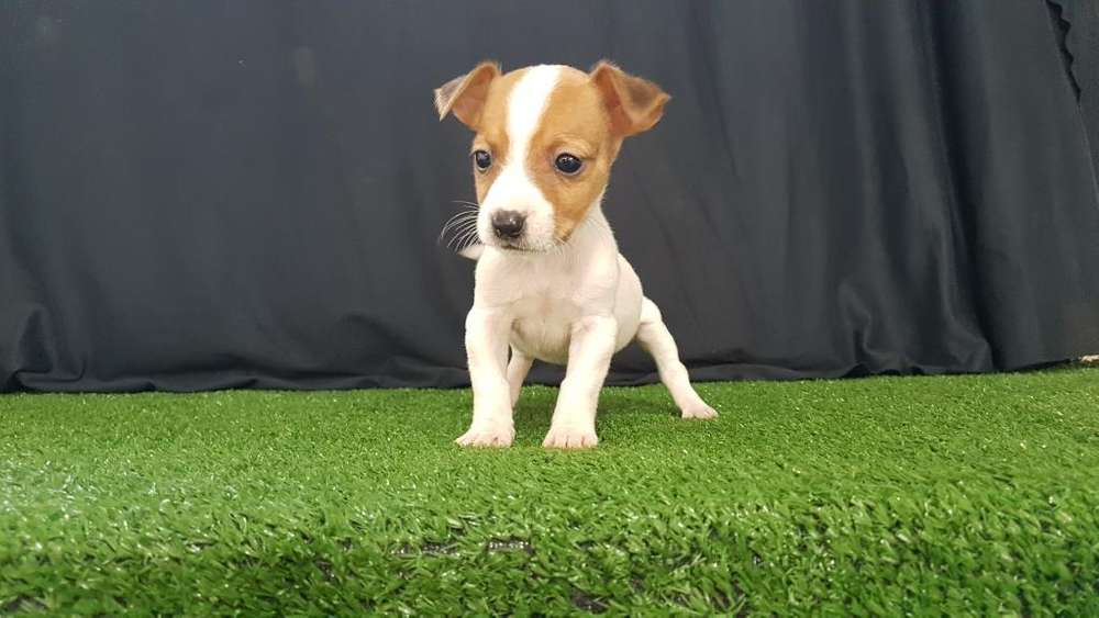 Perritos Jack Rusell <strong>terrier</strong> Venta