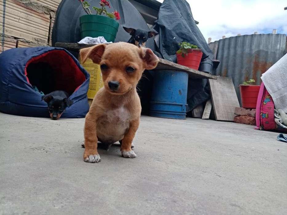 Vendo Perros Pincher