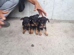 Lindos Pinscher mini toy