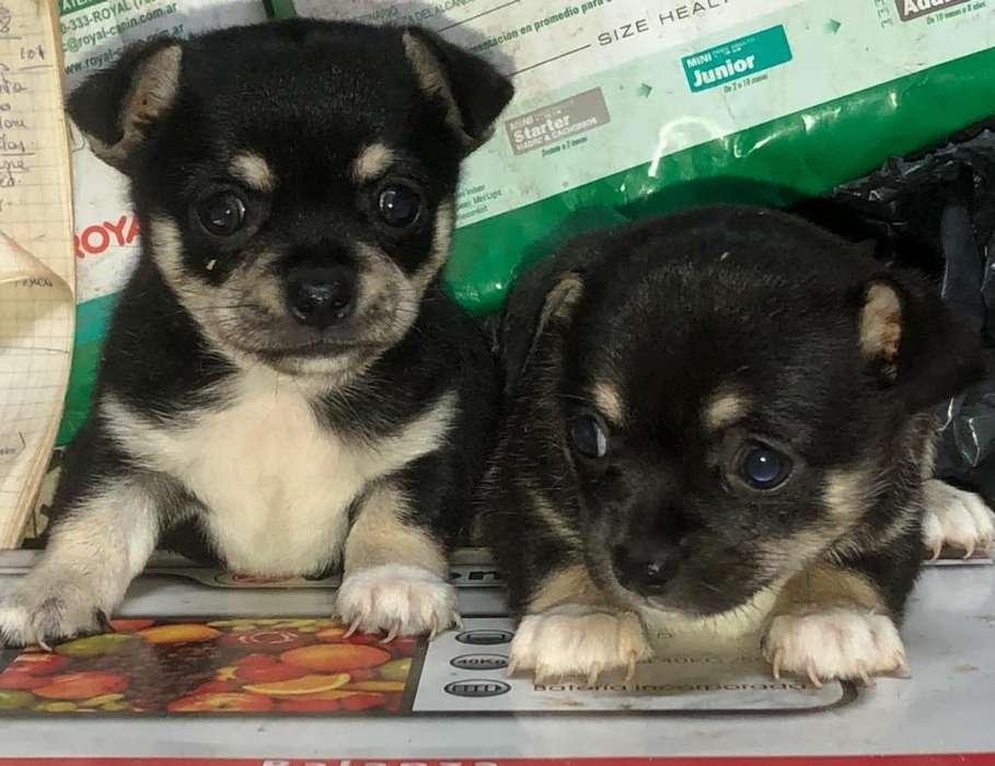 Chihuahuas Machos Y Hembras