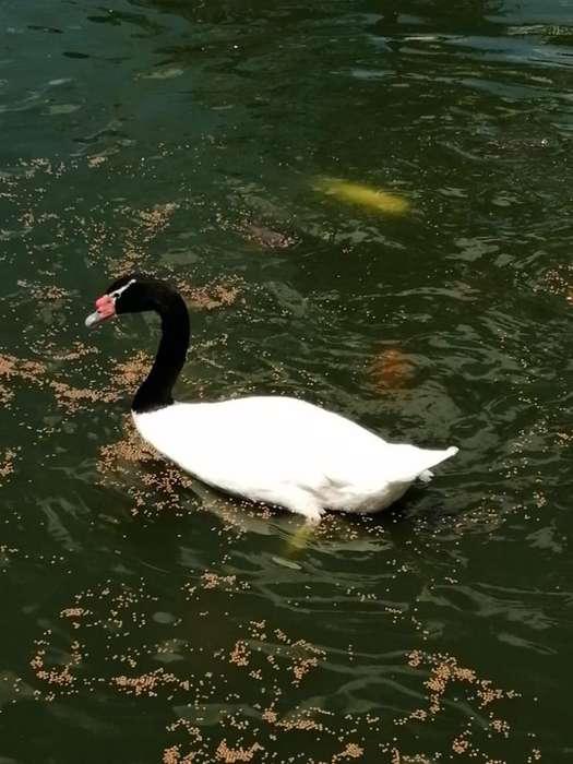 Cisnes. Blanco Cuello Negro