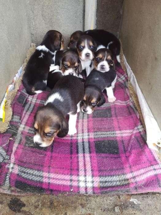 hermosos <strong>beagle</strong> camada