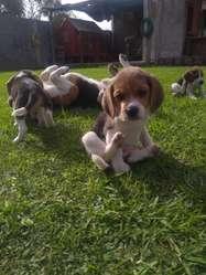 Cachorros Beagles Tricolores Hermosos