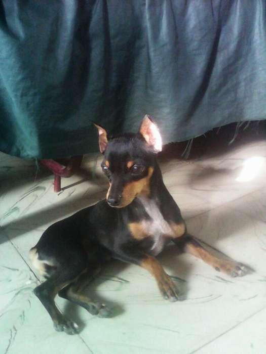 <strong>perro</strong> Pincher para Salto de 2 Año Bonito