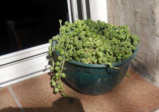 Senecio Rowleyanus /planta del rosario maceta 11 colmada