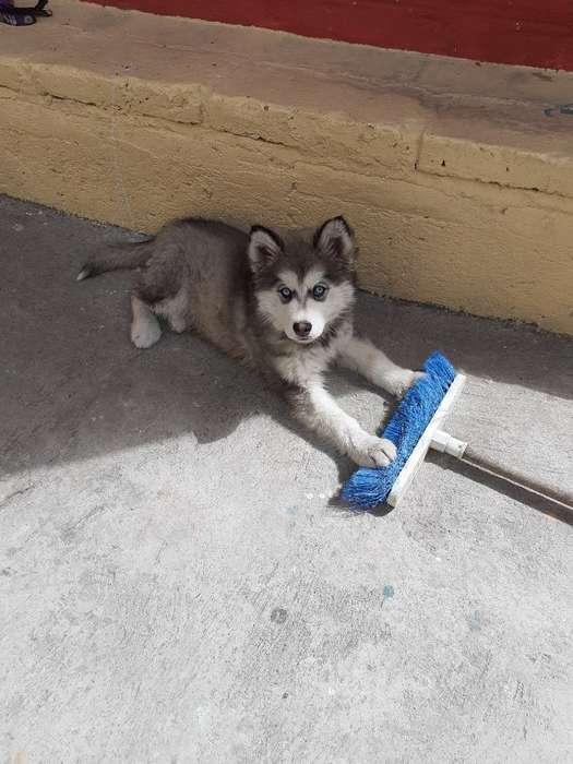 Vendo Cachorrito Jasky Malamute