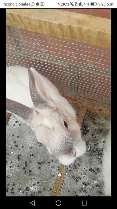 Pareja de Conejos Enanos
