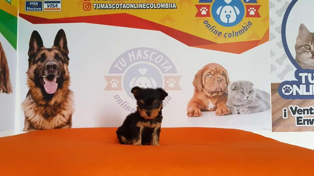 Consentido Yorkshire <strong>terrier</strong> Mini tacita disponible