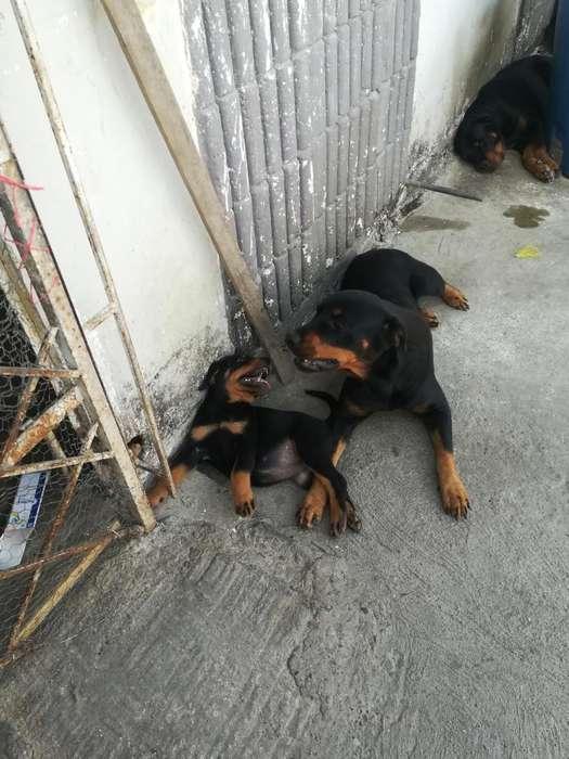 Cachorra Rottweiler en Venta