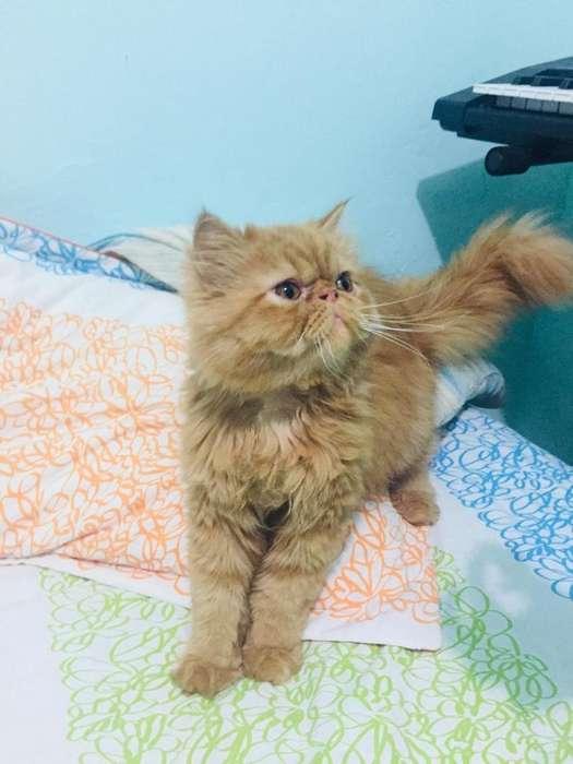 Gato persa extremo para monta