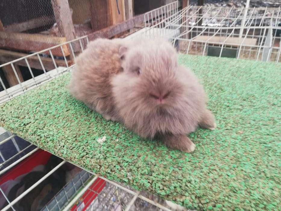 Conejos Híbridos Cabeza de León