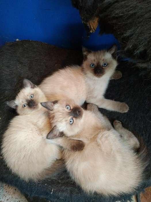 Gatitos Siamés