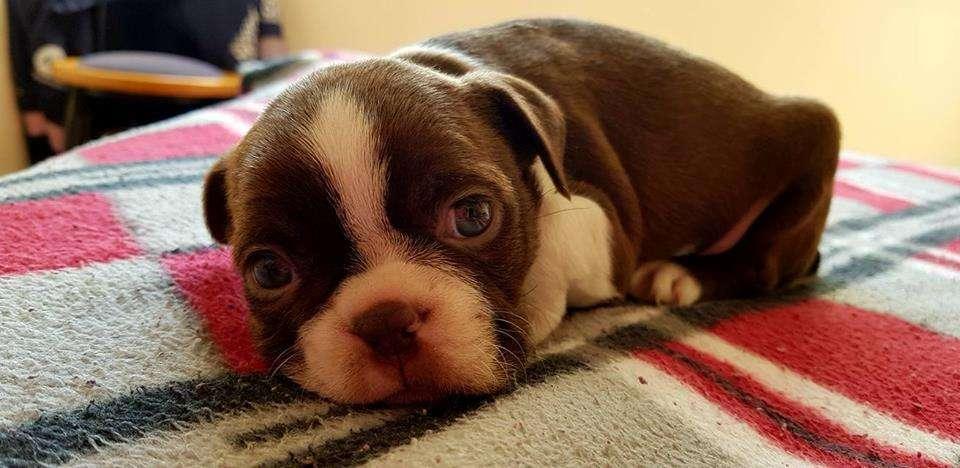 increibles boston terrier rojo