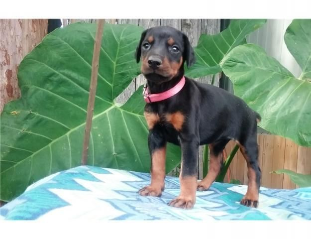 *PET SHOP VENDE DOBERMAN NEGRO*