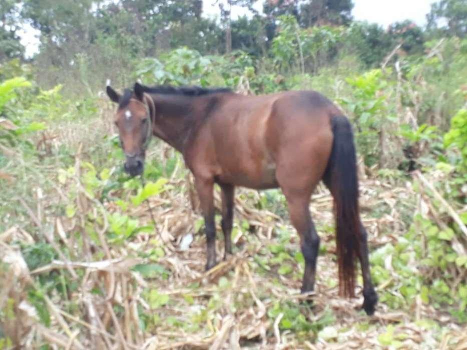 <strong>caballo</strong> Pony Potro de Ofertra