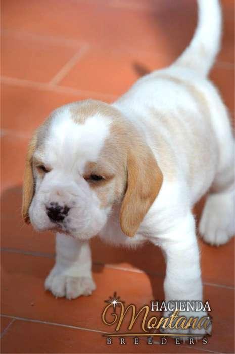 CACHORROS <strong>beagle</strong> LIMÓN EN IBAGUE