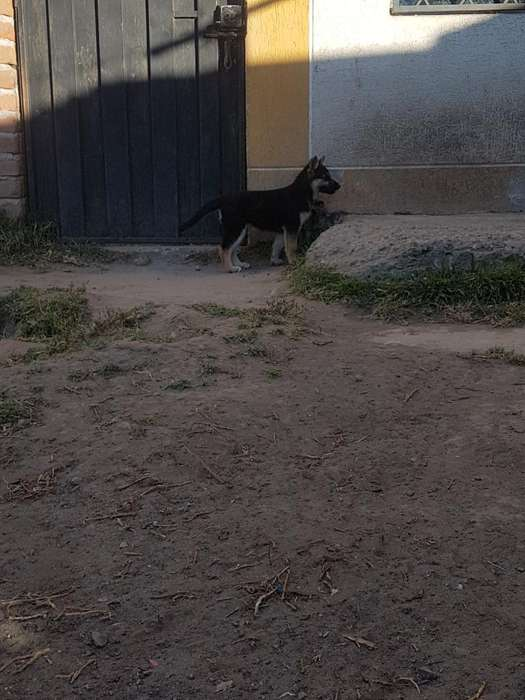 Cachorras en Venta Pastor Alemán-huscky