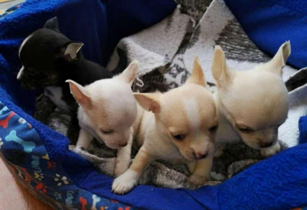 Venta de Cachorros Chihuahuas